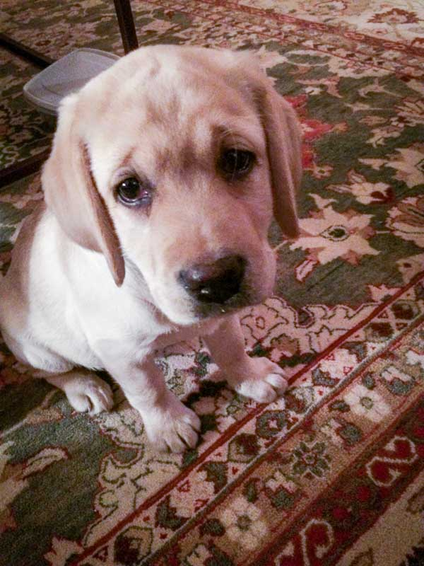 Judy T yellow lab puppy