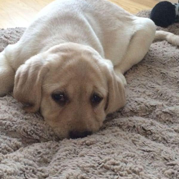 Judy T | yellow lab Puppy