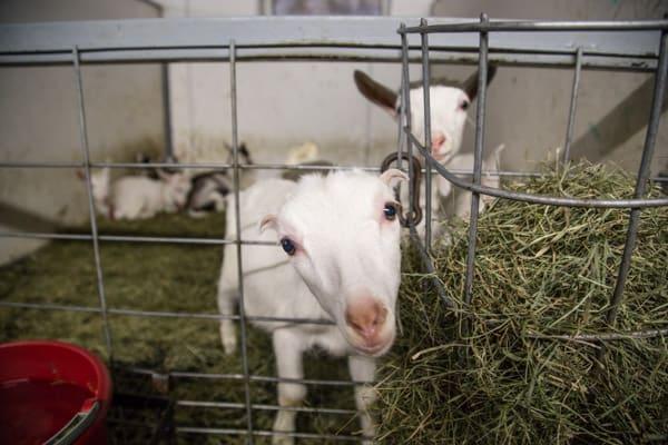 Ayer's Brook Goat Dairy | #CampGatheringVT