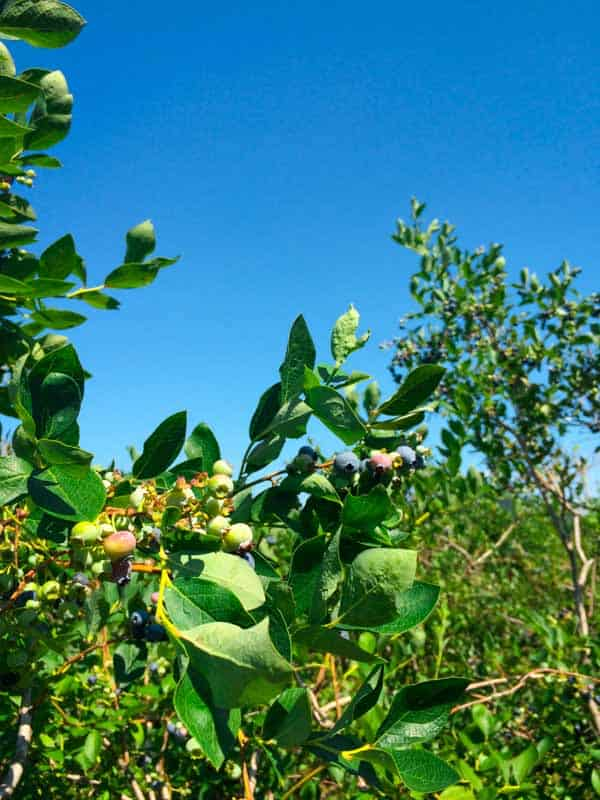 Blueberry Picking in Vermont | Healthy Seasonal Recipes