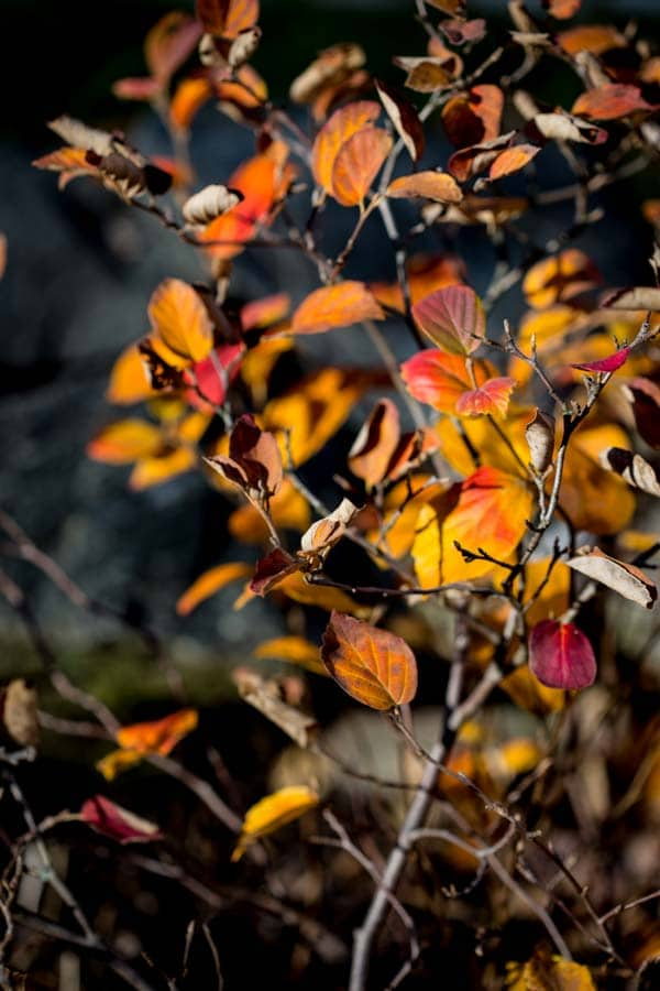 fall foliage of Fothergilla in Vermont