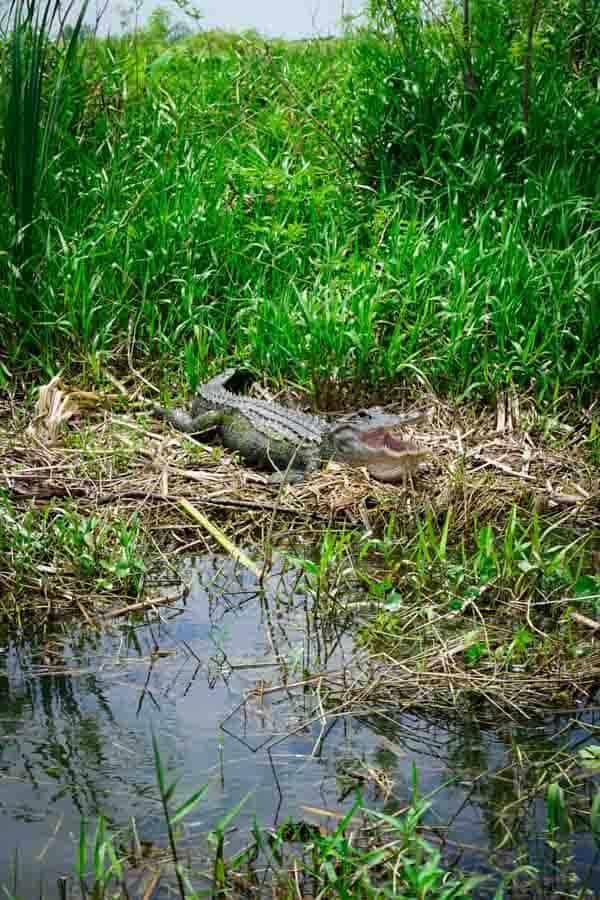Fan Boat Ride in Florida, Alligator