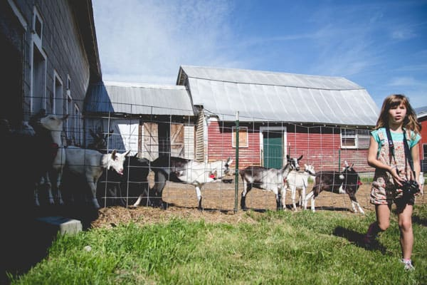 Goats at Ayer's Brook Goat Dairy on Healthy Seasonal Recipes.