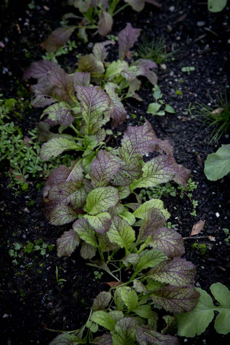 Tender young mustard greens in the October garden, cooking and storage tips plus health benefits of mustard greens on Healthy Seasonal Recipes