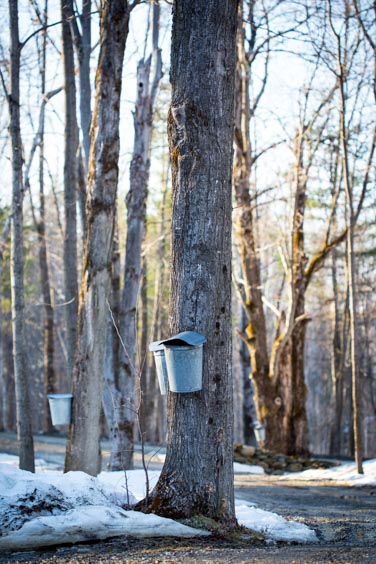 making maple syrup, collecting sap in a bucket in Vermont