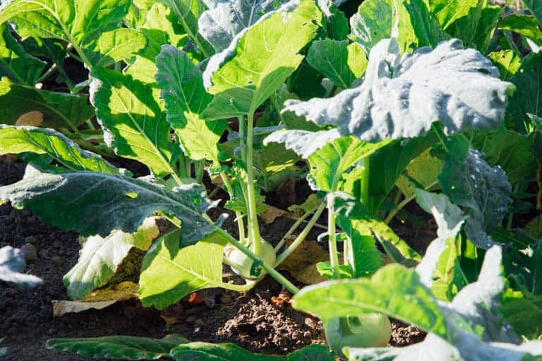 Produce Spotlight The Ultimate Guide to Kohlrabi-Growing Kohlrabi