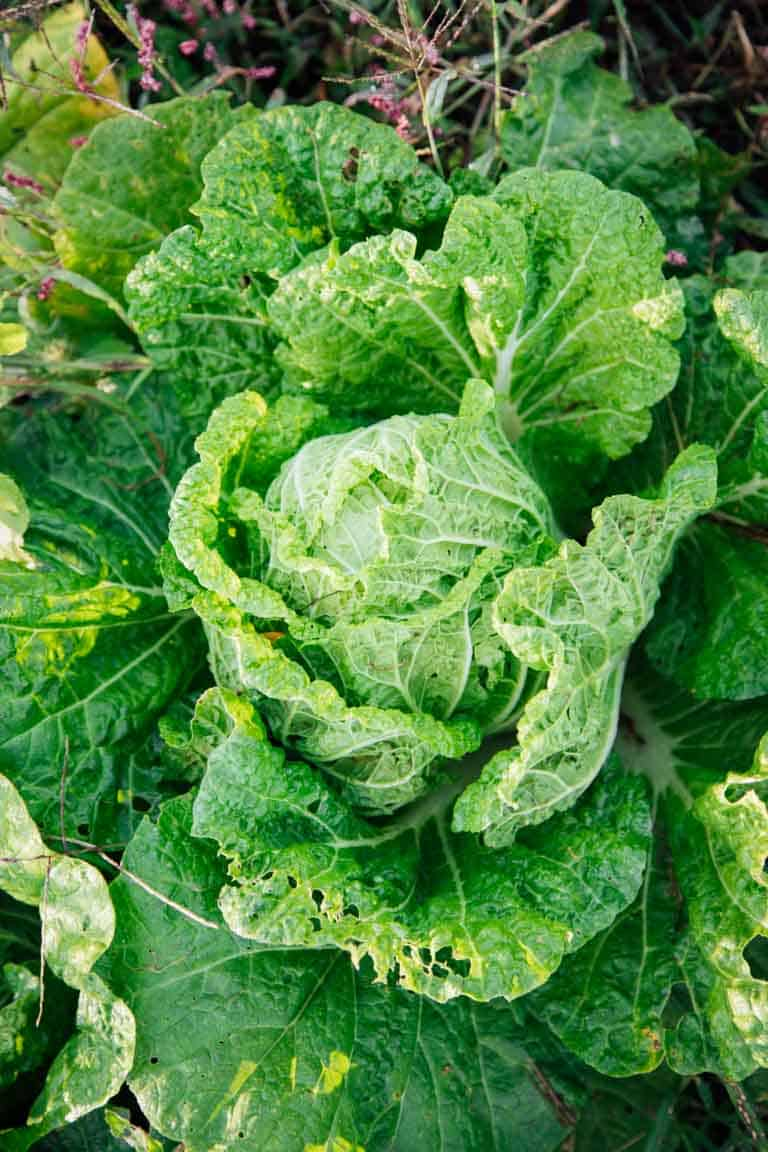 the Ultimate Guide to Cabbage on Healthy Seasonal Recipes by Katie Webster