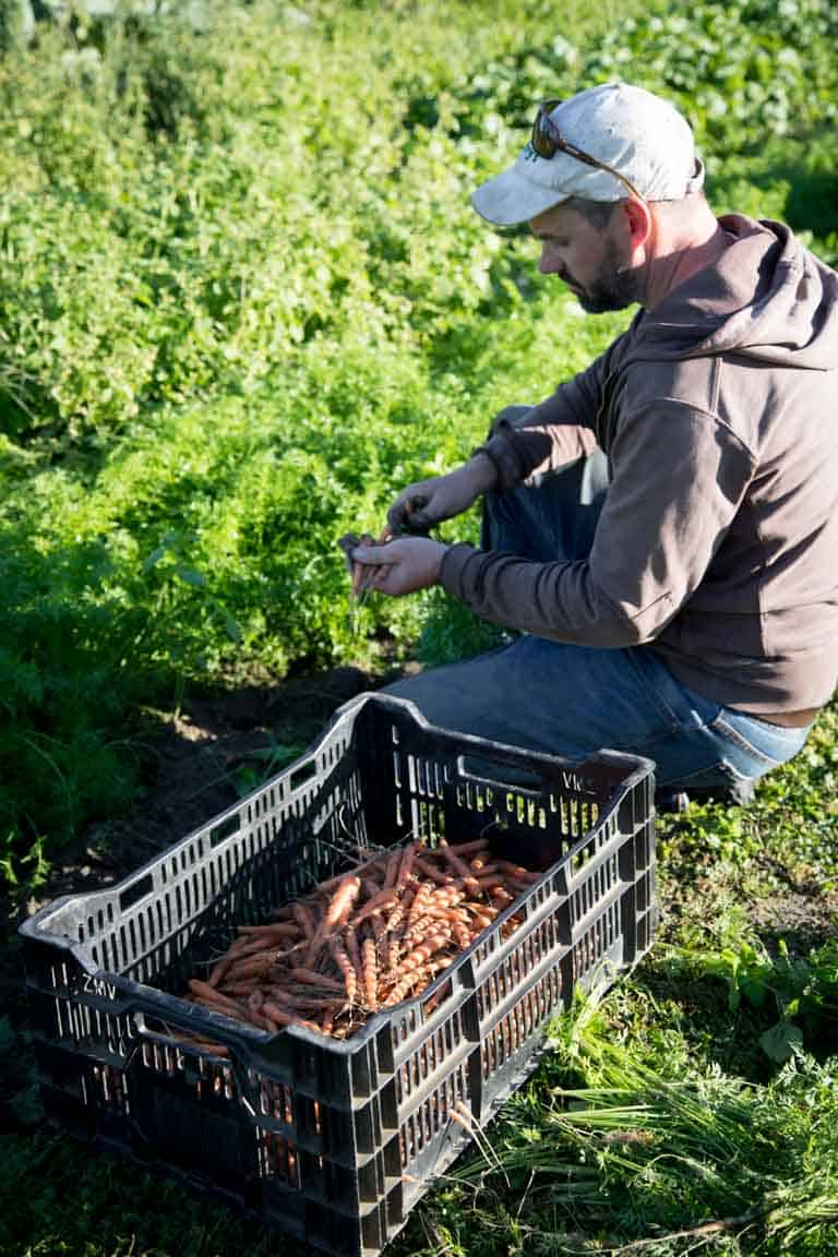 a farmer in the field harvesting baby carrots