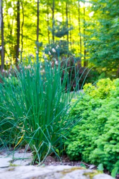 chives in my garden with little gem spruce and barberry